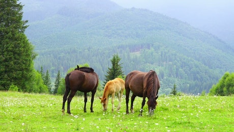 Horses family grazing in the meadow