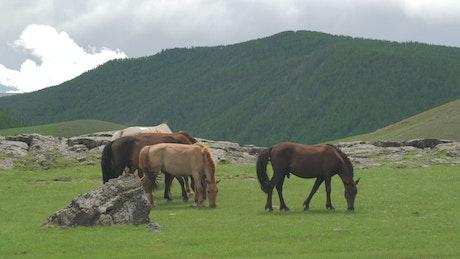 Horses grazing in the plain