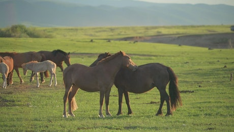 Horses scratching each other