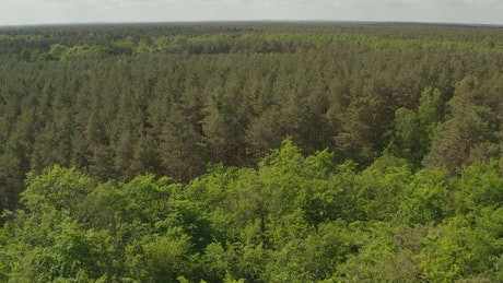 Huge forest full of green trees, aerial tilt shot