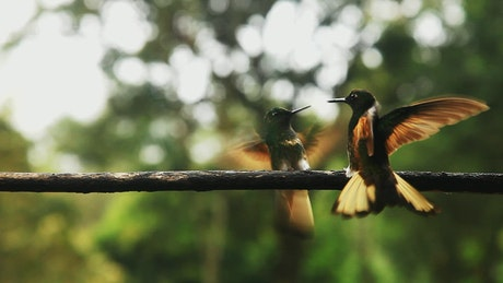 Hummingbirds fly and play on railing