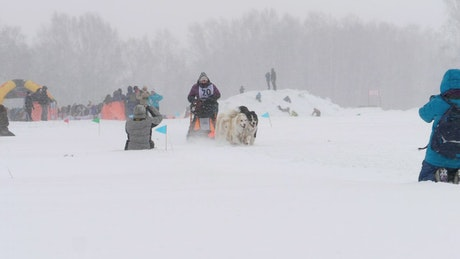 Husky sled dogs pulling in slow motion