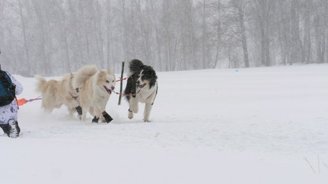 Husky sled dogs running in slow motion
