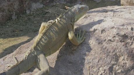 Iguana walking over warm rocks
