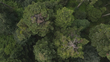 Immense pine forest seen from above