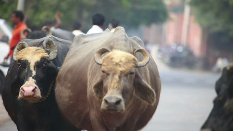 India bulls walking in the city streets