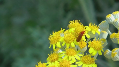 Insect on yellow flowers