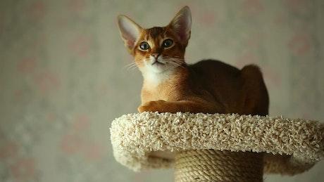 Kitten resting at home