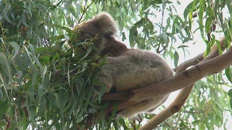Koala eating eucalyptus leaves on a tree