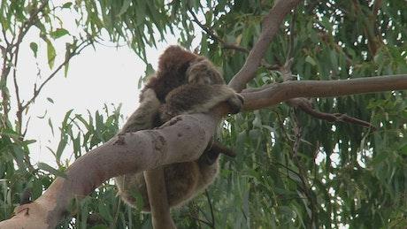 Koala Hanging in a tree