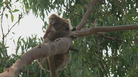 Koala hanging on a tree branch