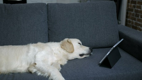 Labrador sleeping with a tablet