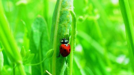 Ladybug climbing on grass