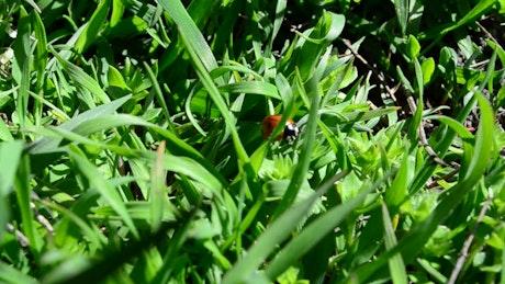 Ladybug hidden in a lawn