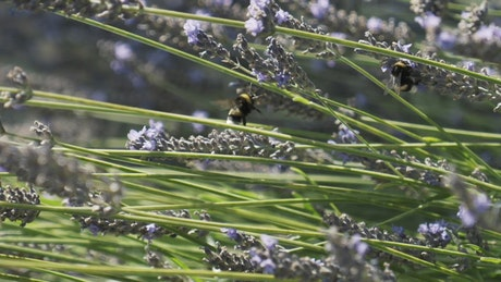 Large Bees on a Lavender plant