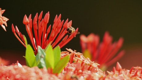Large Bees on a red plant