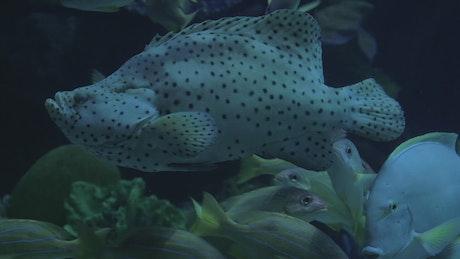 Large fish in an aquarium