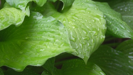 Large green plant leaves in the rain