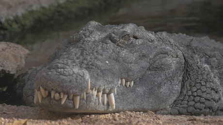 Large grey Crocodile