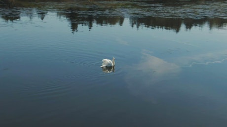 Large Swan in calm water