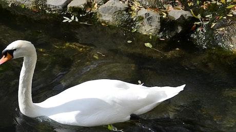 Large Swan swimming in a lake