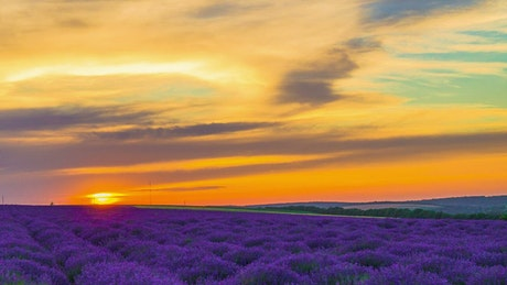 Lavender field in an orange sunset