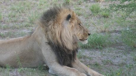 Lazy male lion yawning