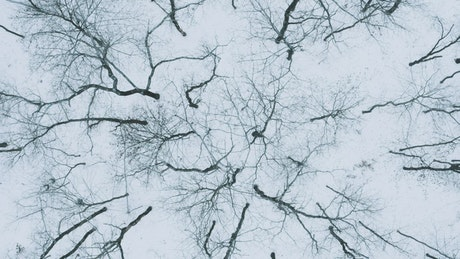 Leafless trees in a winter forest