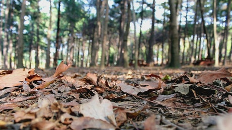 Leafy ground in a forest as a person passes