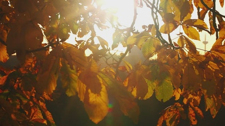 Leaves of a tree in autumn under the sun