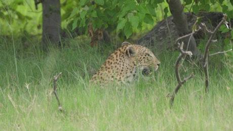 Leopard walking in a green valley