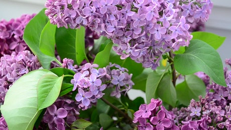 Lilac flowers in a community garden