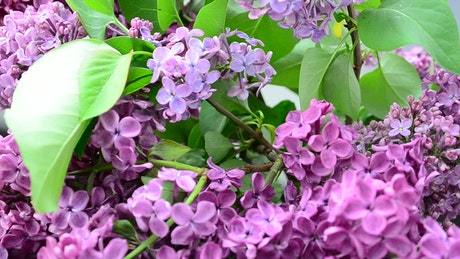 Lilac plants growing in a garden