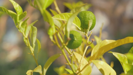 Limes growing in a garden