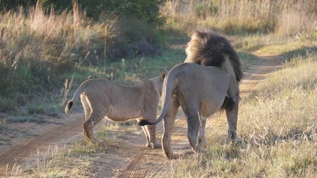 Lion couple in the middle of the road