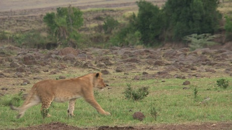 Lion cubs playing on the valley