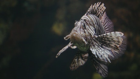 Lion Fish in a tank