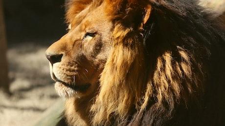 Lion head portrait in the sun