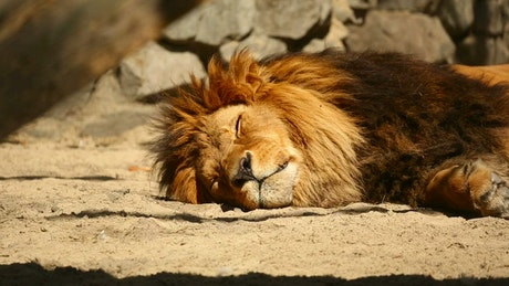 Lion resting in the sun