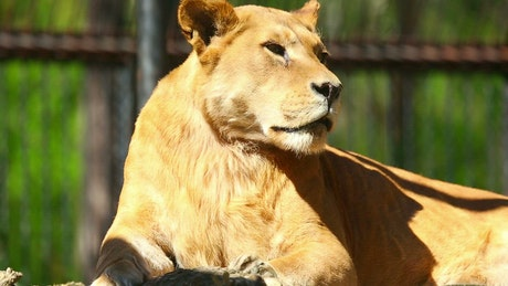 Lioness laying in the sun