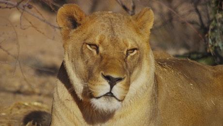 Lioness portrait in the wild
