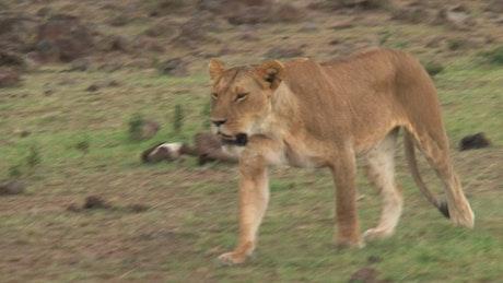 Lioness walking on the savanna