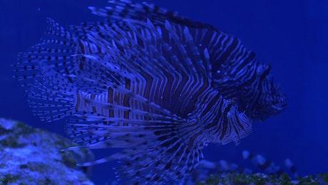 Lionfish on a blue aquarium