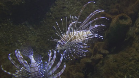 Lionfish swimming in the water