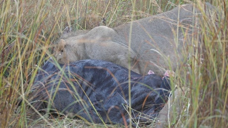 Lions eating from a wildebeest at wild, close up