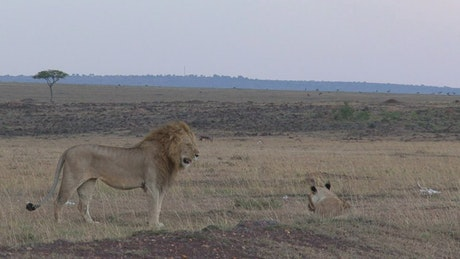 Lions resting on the savanna