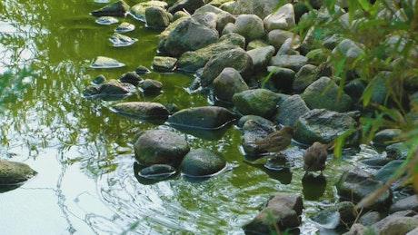 Little birds bathe in the stream of a park