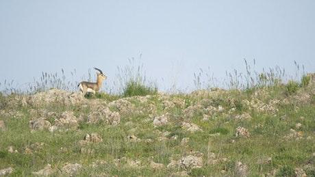 Little deer walking in the mountain