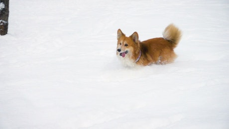 Little dog running in the snow