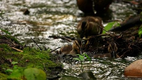 Little ducks walk in a stream in the forest